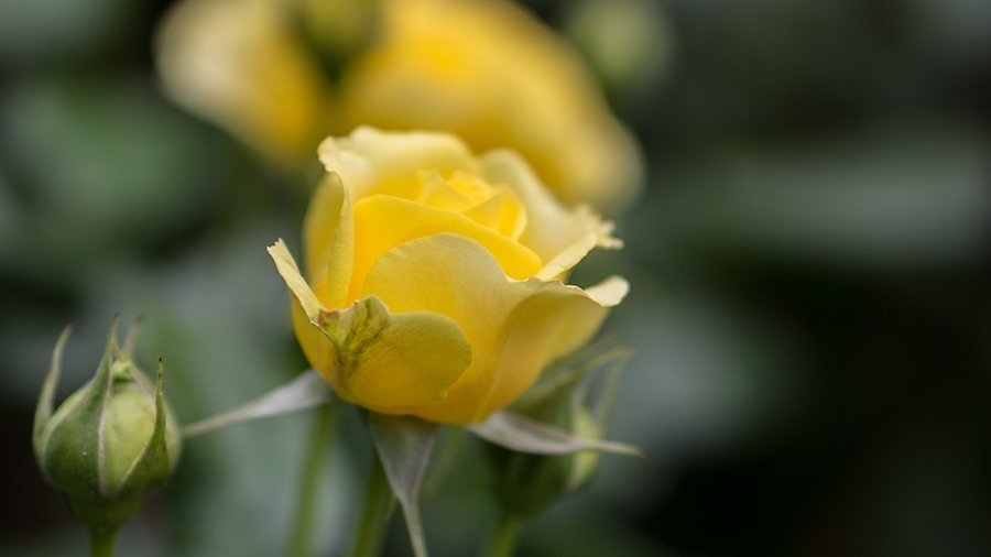 RG-YellowRose1
