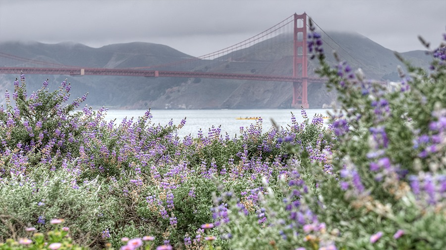 Golden Gate Bridge Flowers - Click to see it in High Resolution!