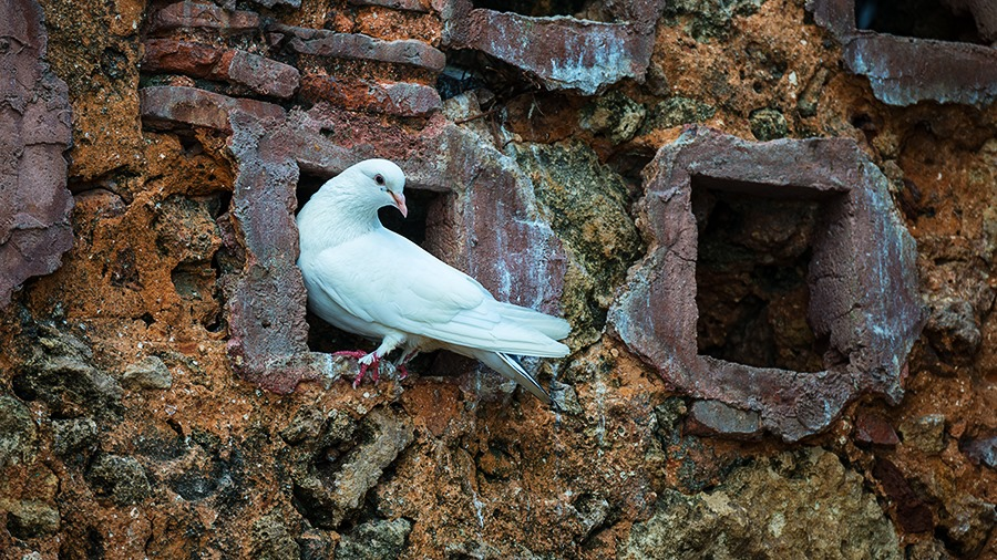 White Pigeon - Click to see it in High Resolution!